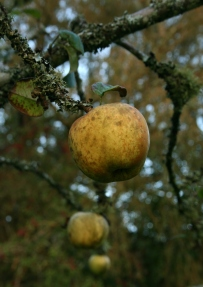 Muted green apples echoing each other in a friend's garden