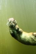 otter underwater 6