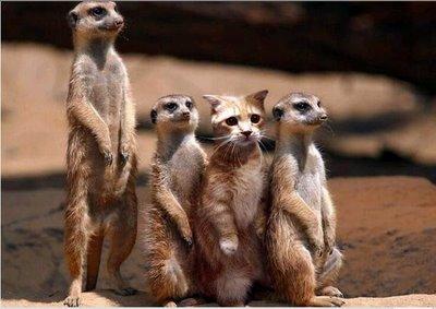 Meerkats & kitten