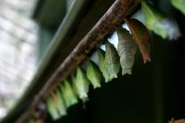 butterflies chrysalis 3