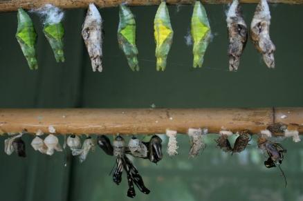 chrysalis row