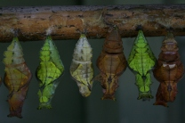 butterflies chrysalis row