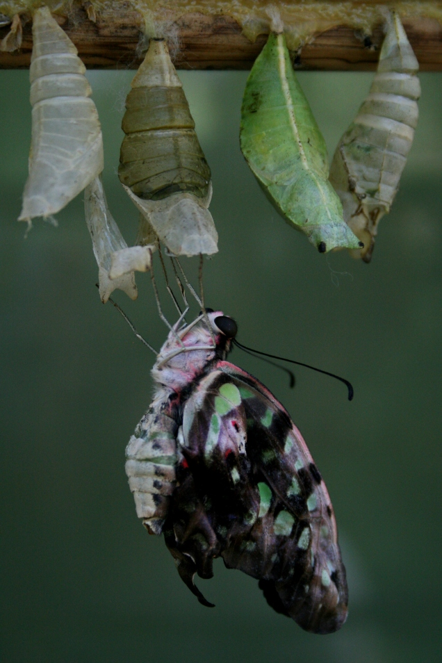 butterfly birth 2