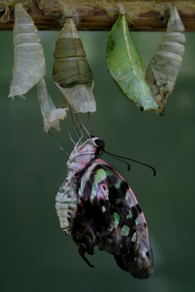 butterfly birth 2