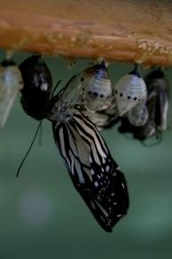 butterfly birth